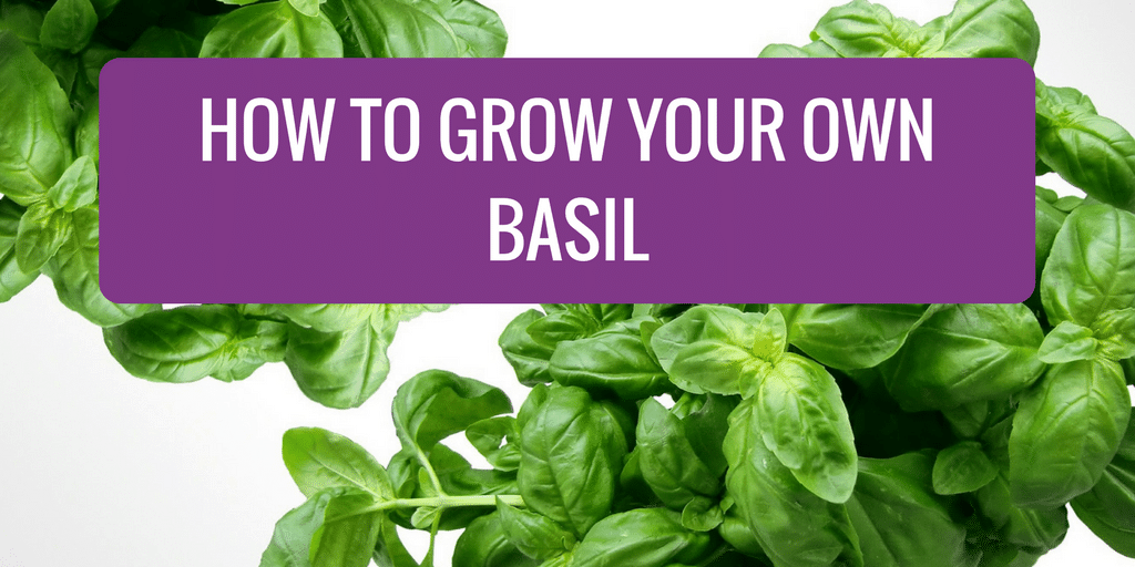 How to Grow Your Own Basil